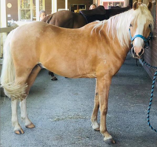 Stunning Palomino Arabian Riding Pony