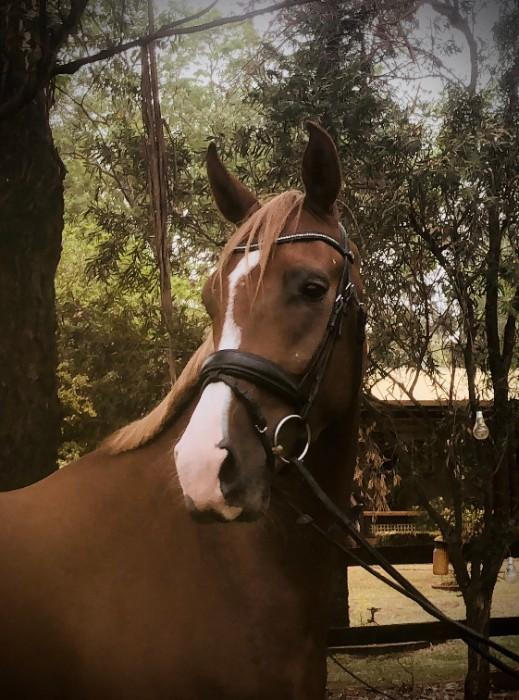 Arabian Warmblood Gelding