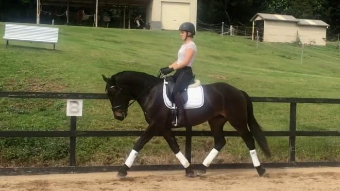 Quiet Warmblood x Percheron Gelding