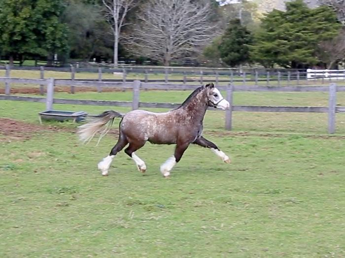 Welsh A Pony  Exceptional Movement and Temperament