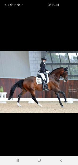 Warmblood gelding by Quarterback