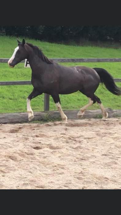 Super Flashy Welsh D x TB mare