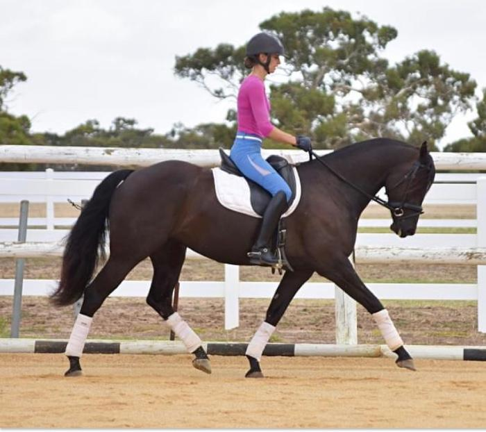 Registered Australian Friesian Warmblood