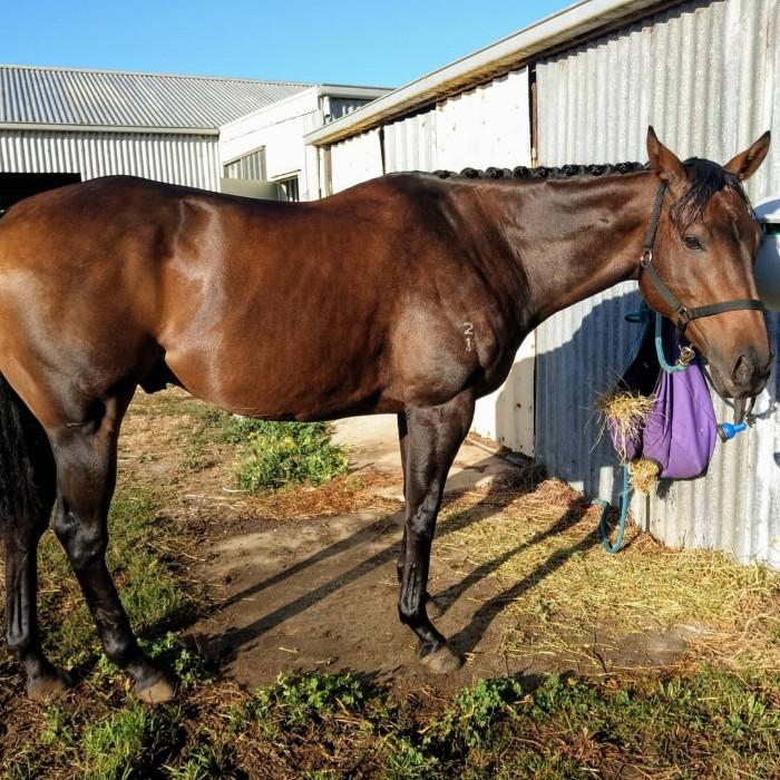 "All-rounder TB Gelding ""Painting"""