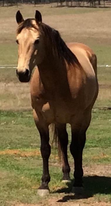 Beautiful Buckskin Stallion AQHA  Mare A+