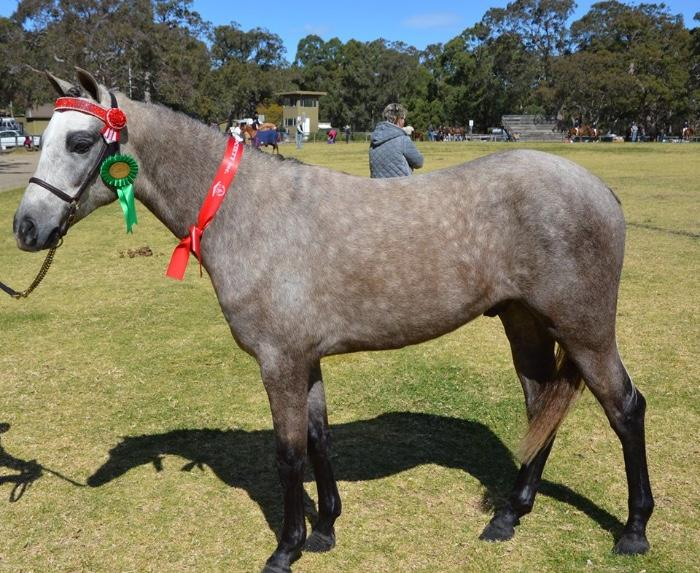 Gorgeous Grey APSB/Welsh Gelding