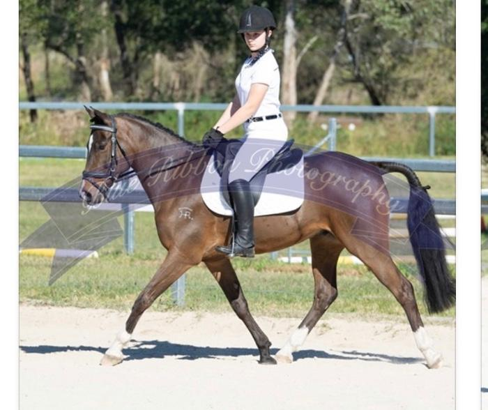 Impressive purpose bred Show pony (QLD)