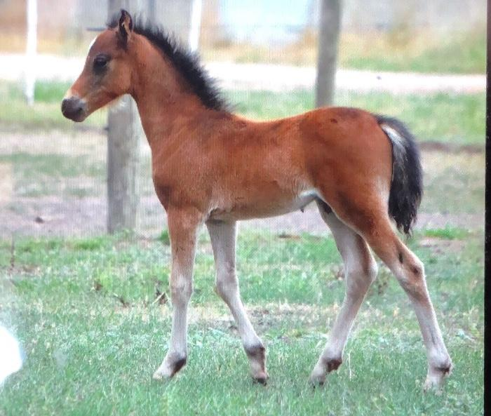 Bay Welsh B colt bred in the purple