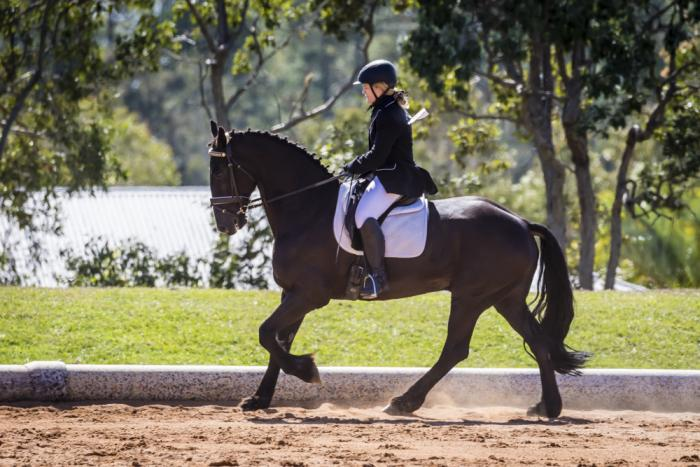 Friesian x dressage schoolmaster with potential