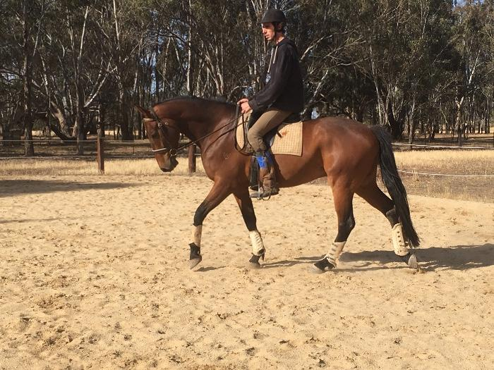 5YO drsg star,super bred,with incredible canter