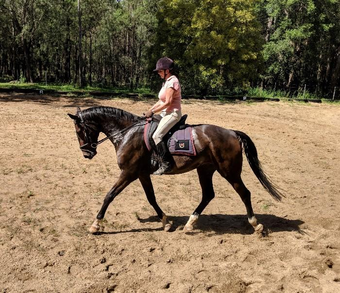 Stunning Dark Bay Warmblood Gelding