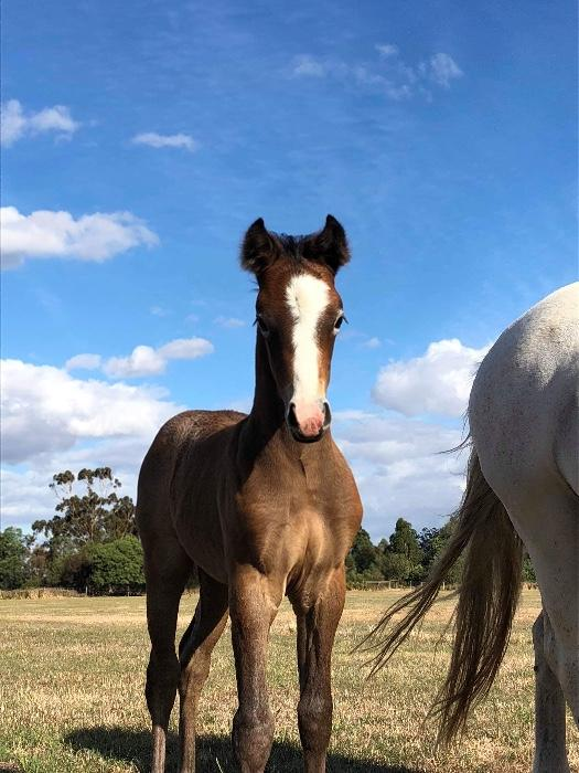 Purebred Connemara filly