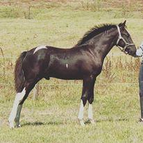 Coloured Friesian X Gelding