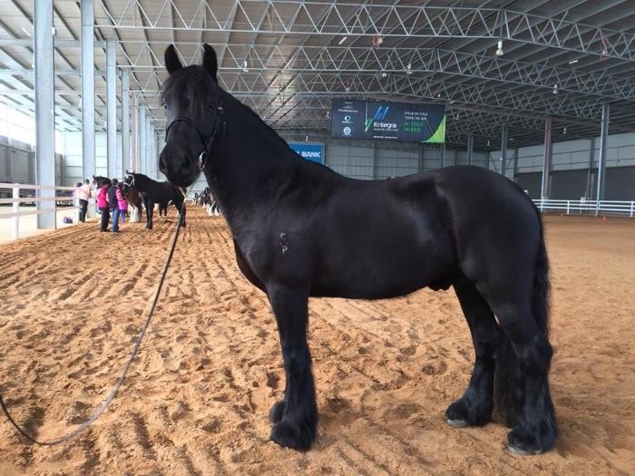 Black Gypsy Cob x Welsh (C)