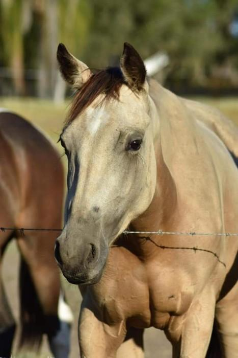 Registered QH mare