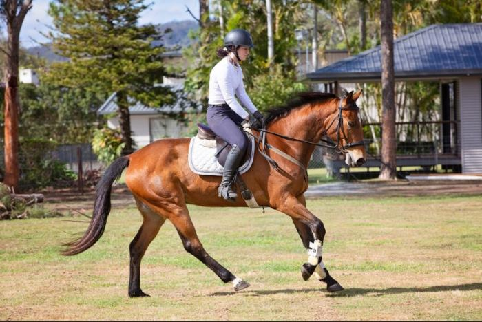Athletic Young Warmblood Gelding