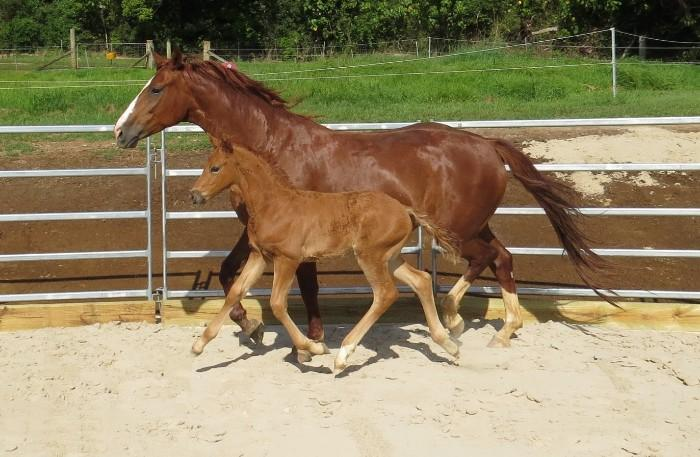 Mares and Foals for sale