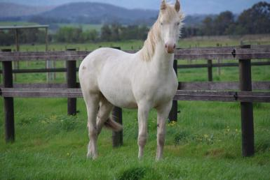 Cremello Offspring Based in Australia