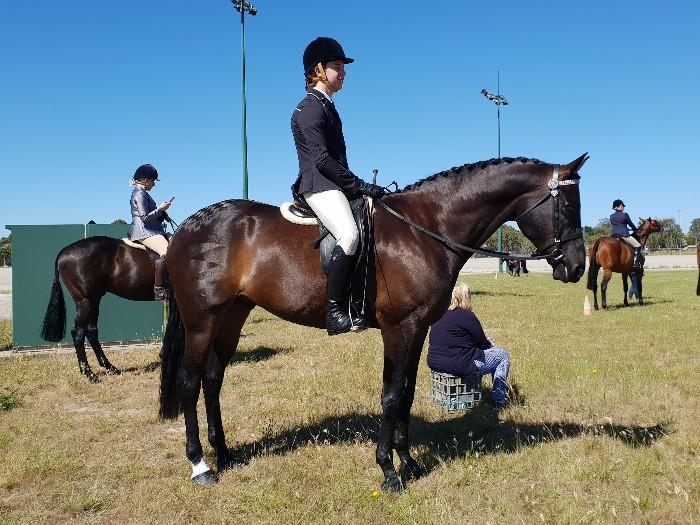 Elegant Performance Horse -PRICE REDUCED