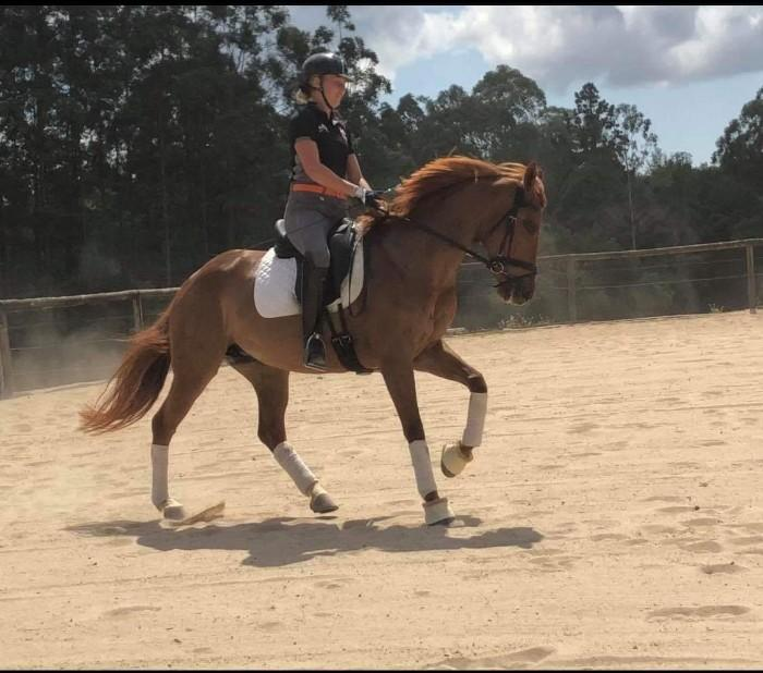 EXCEPTIONAL DRESSAGE OR EVENTING MARE