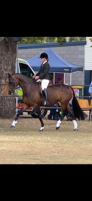 Eye catching elegant Warmblood mare
