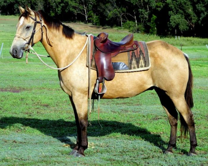 Quiet Buckskin Pure QH Gelding + VIDEO+