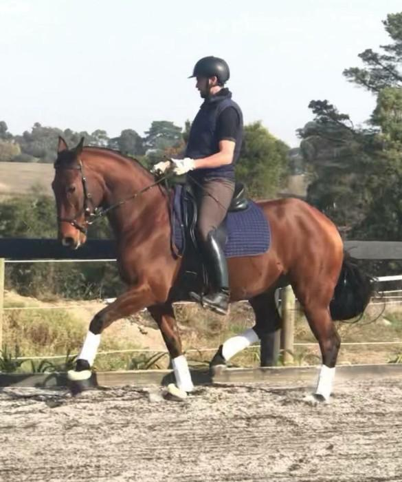 Donnerblitz Warmblood gelding