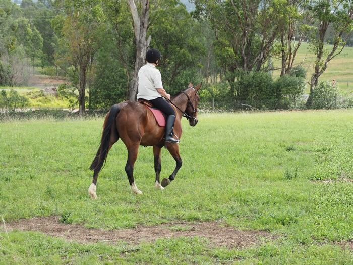 5yr old Standardbred gelding 15.3hh