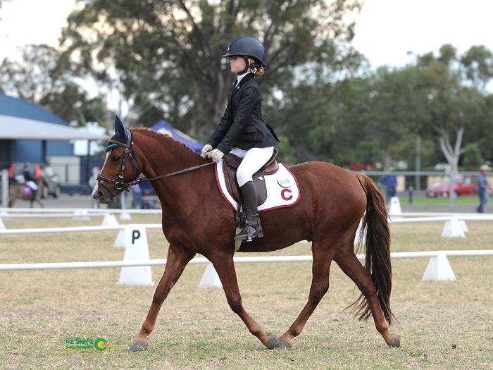 All-rounder Welsh Pony Gelding
