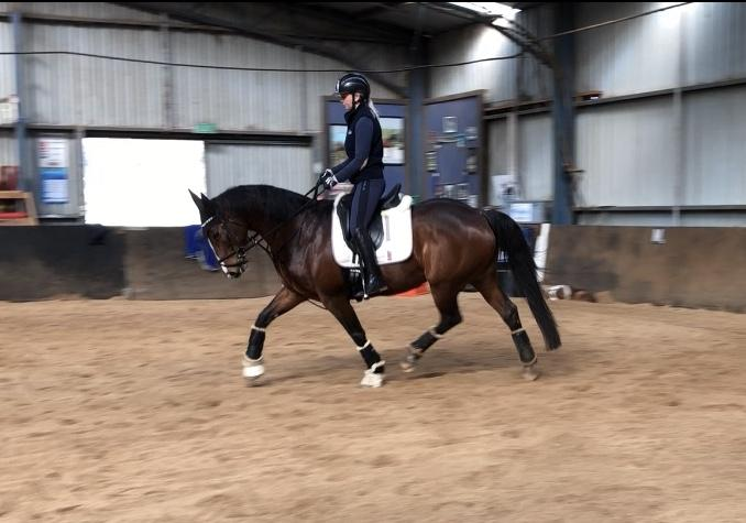 Talented Dressage Warmblood mare