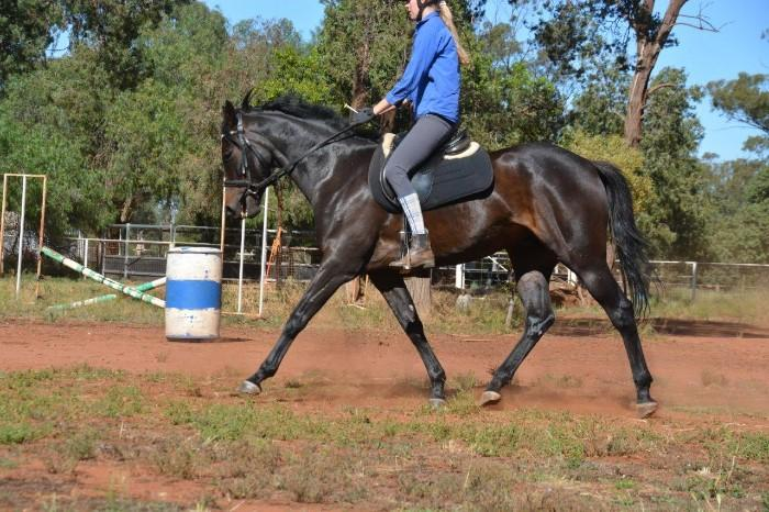 Stunning, super quiet, black Anglo gelding