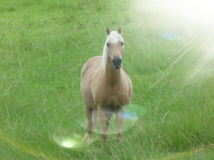 Registered Australian Quarter Pony for sale