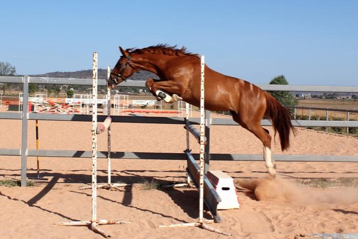 Stakkato - Champion FP mare in foal to Diarado