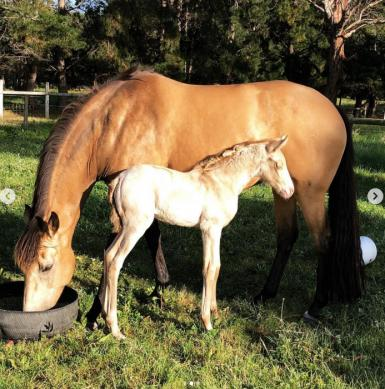 Perlino Filly by CELERE x Anglo mare