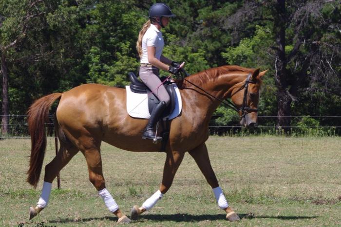 QUALITY BRED WARMBLOOD MARE