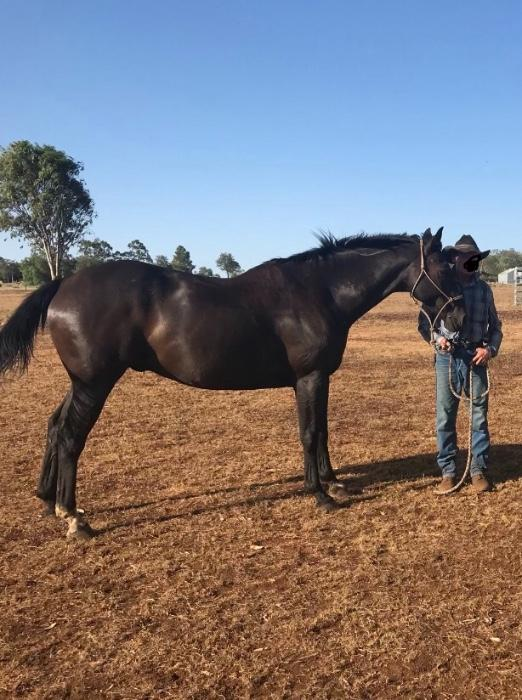 Quiet Gelding suit Novice