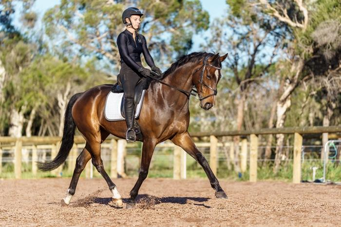 Flashy Warmblood Gelding