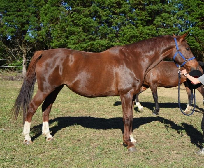 Opportunity Lovely Imported Donnerhall broodmare