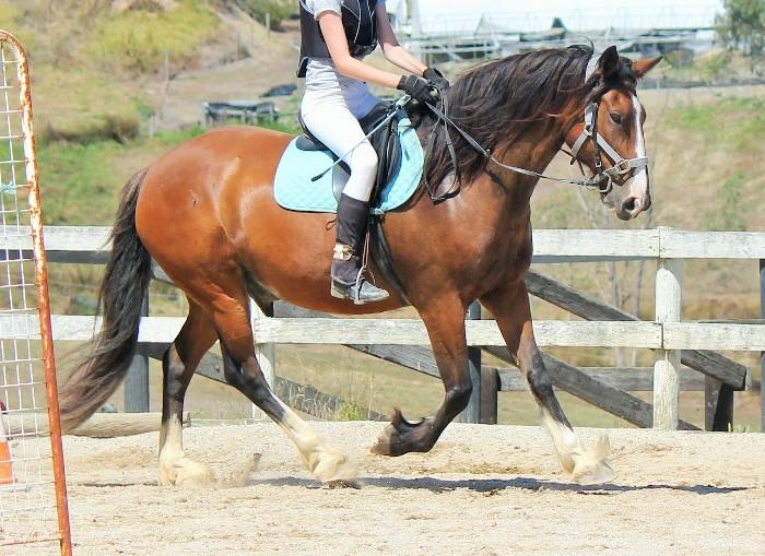 Educated Clydesdale X Stockhorse Gelding