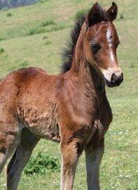 Part Welsh filly