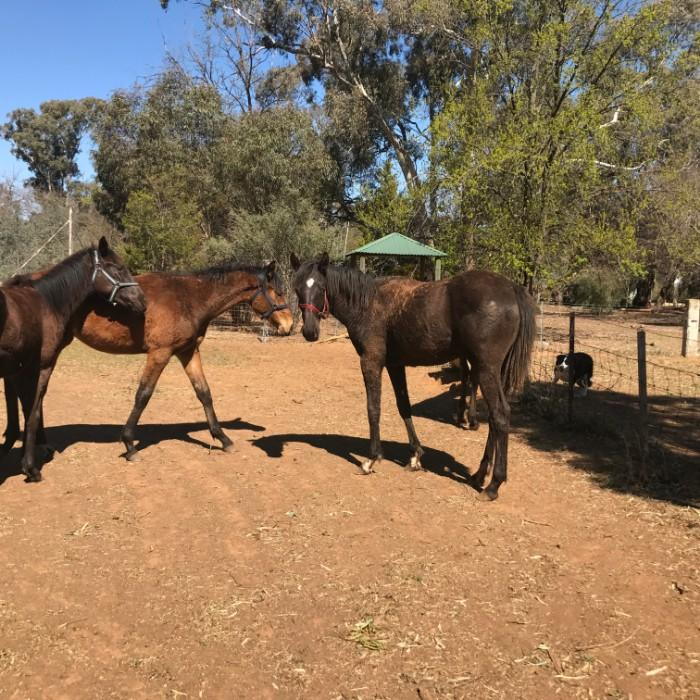 Stock Horse Bred Yearlings for sale From $990.00
