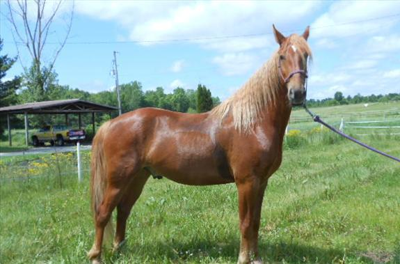 trained American Saddlebred Gelding