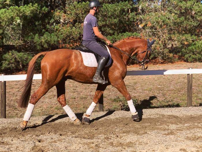 Lovely Warmblood Gelding