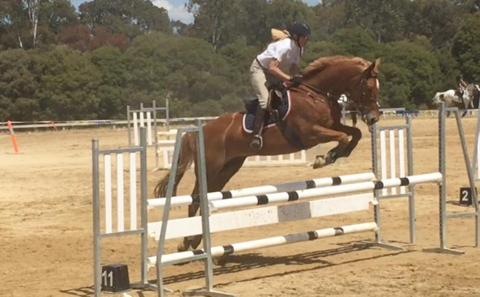 WARMBLOOD ANGLO GELDING