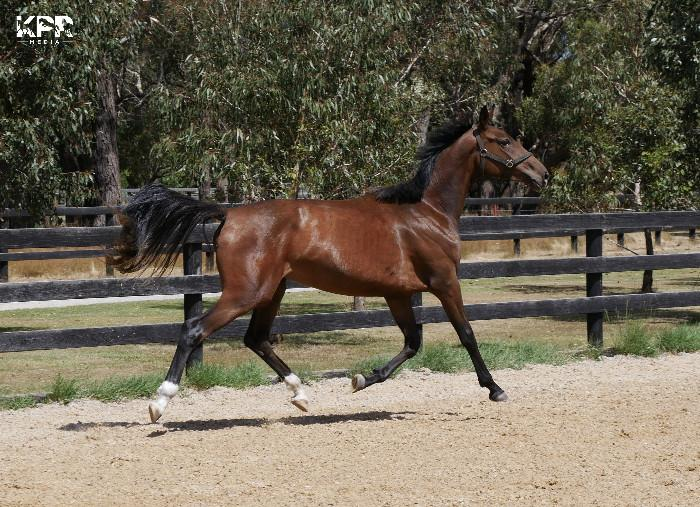 2yo Warmblood with Quality Imported Lines