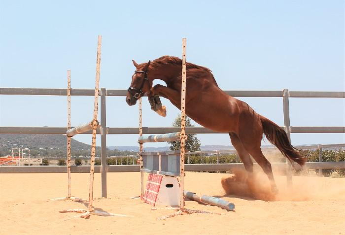 Purpose Bred Young Event Horse