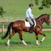 Stunning Warmblood Gelding, Dressage or Jump
