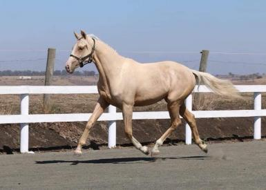 lollie trot shot as yearling.jpg