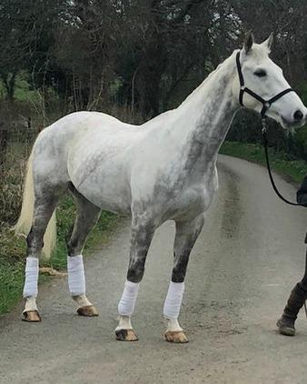 Ideal Eventing/Dressage prospect