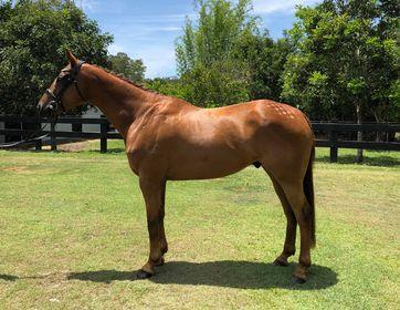 Talented Thoroughbred Gelding
